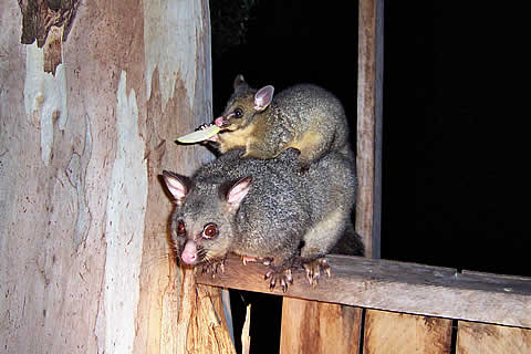 Tasmanian Brushy Tail Opossum